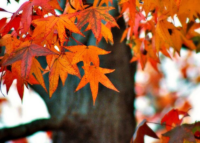 Liquidambar Styraciflua American Sweetgum Tree Hojas De Otono Hojas Paisajes