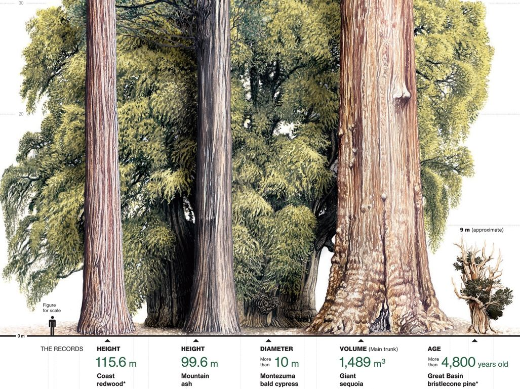 EXTREME TREES INFOGRAPHIC // Left to right: COAST REDWOOD-tallest ...