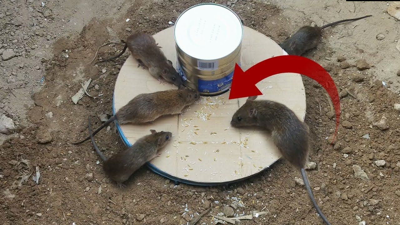 Best mouse trap using bucketcan milk deep hole mouse