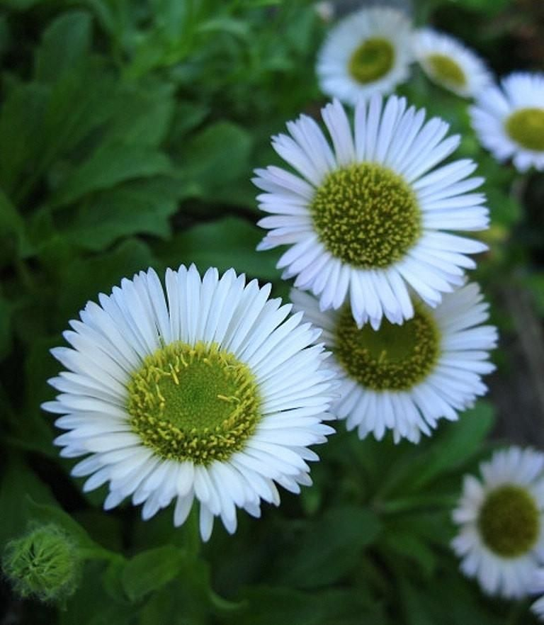Seaside Daisy Seeds Erigeron Glaucus Albus Perennial Flowers Us Native Flowers Perennials Perennials Native Plant Gardening