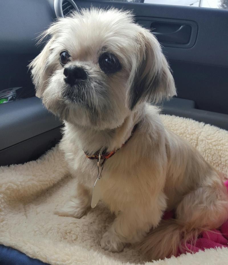 Adopt Sally On Shih Tzu Shih Tzu Dog Dogs
