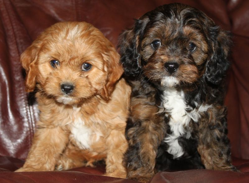 """Cavapoo The Cavapoo, also known as the Cavadoodle, is created by the crossing of two breeds: Cavalier King Charles Spaniel and Poodle. They are often referred to as """"designer dogs"""" and have become popular family companions."""