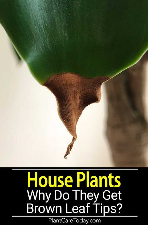 Brown Tips on Houseplants Leaves - A Reason Why! #plantsindoor