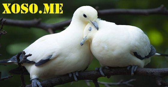 Chiêm bao thấy chim bồ câu cùng ý nghĩa điềm báo của giấc mơ