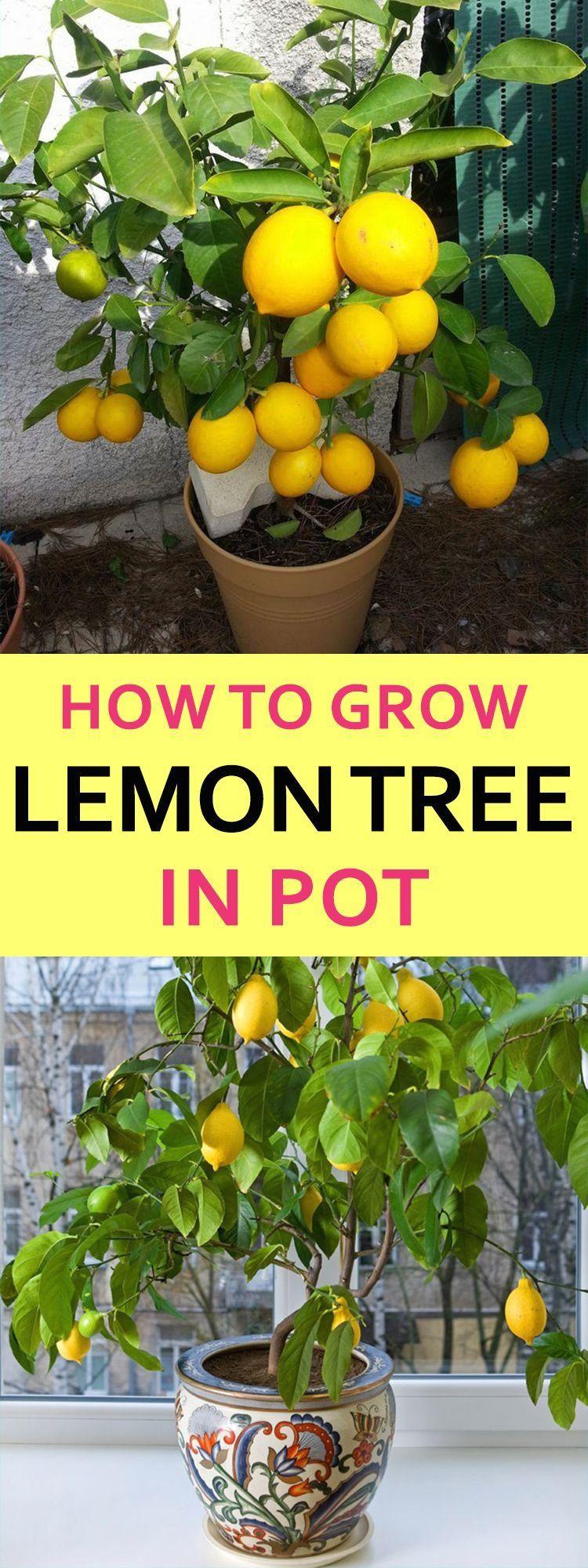 How Lemon Trees Make You A Better Garden Lover 1000 Lemon Tree From Seed How To Grow Lemon Lemon Tree