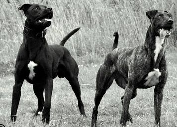 American Bulldog Greyhound Mix Dogs Pitbull Mix Dog Breeds