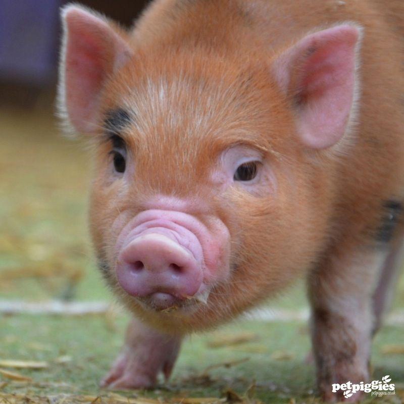 Micro Pigs For Sale Petpiggies Nothin But Pigs Part 4