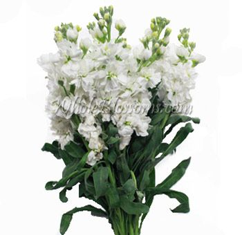Cream White Stock Flower Fresh Bulk Wholesale Stock Filler