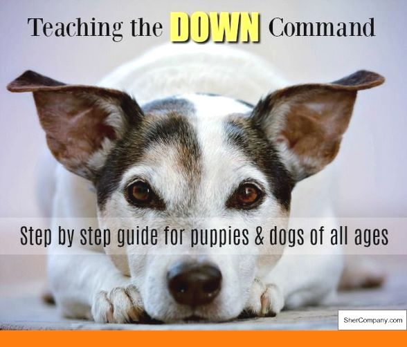 Dog Training Simple Commands And Pics Of Dog Behavior Greenville