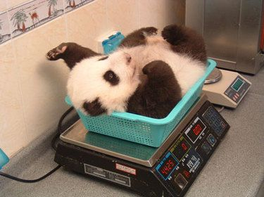 panda checking his weight #babypandas