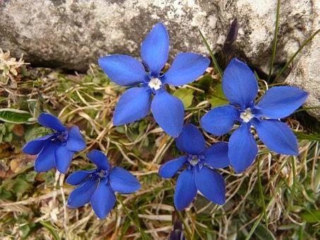Gratis Obraz Na Pixabay Gencjana Goryczka Wiosenna Spring Pictures Spring Tree Gentian