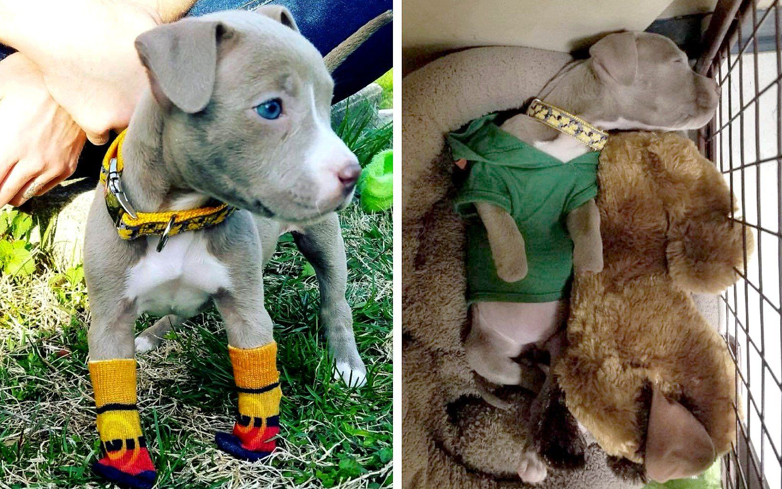 Abused Puppy Who Doesn T Have Front Paws Now Has A Warm Bed And Tiny Socks To Protect Her Toes Photos Puppies Animal Rescue Stories Warm Bed