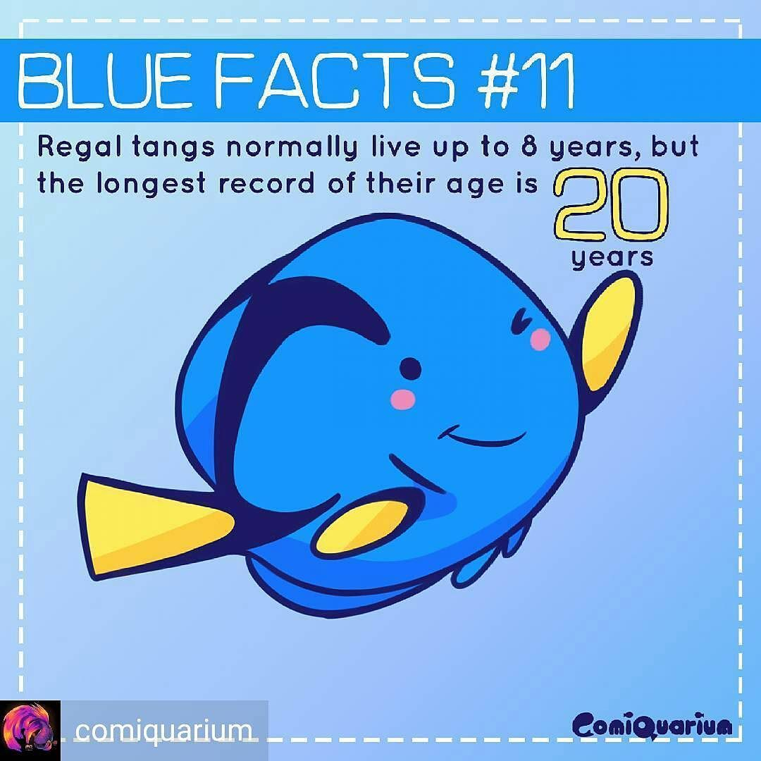 So how long can #dory live? Well the longest record is 20 years! Thats pretty long for a fish. How many years have you kept yours? #comiquarium #hippotang #tang #palettesurgeonfish #surgeonfish #findingdory #marinefish #pets #fishofinstagram #Regrann #Brightwellaquatics