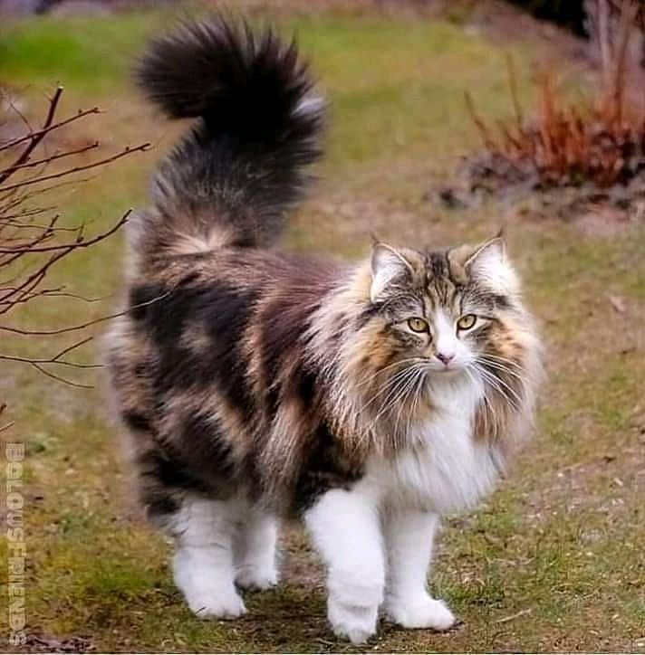 "😻Mainecoon Lovers Community 😻 on Instagram: ""DM me your maine coon  picture for feature on my page🐱🐈 - 📷Credit via : Dm me for credit 😘 Turn Notification ON 💙 . . 👉 Follow Us:…"" .. I Love❤️Cats❤️❤️❤️"