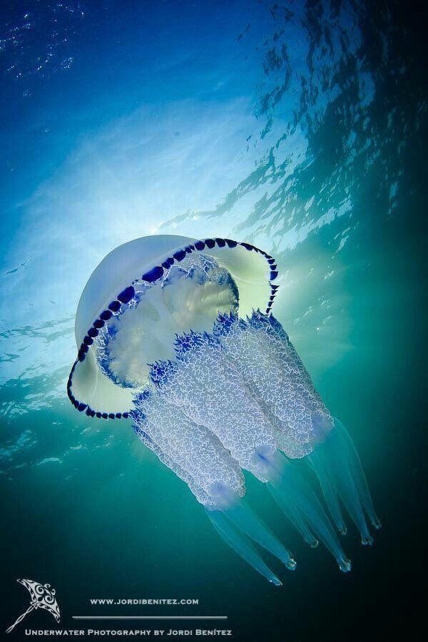 قنديل البحر Rhizostoma Pulmo من أجمل أنواع قناديل البحر في العالم Beautiful Sea Creatures Ocean Creatures Ocean Animals