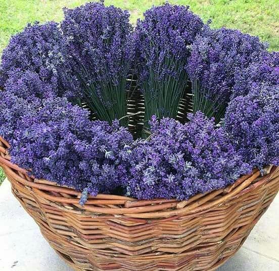 Vaso lavanda lavanda love pinterest belas imagens for Lavanda coltivazione in vaso