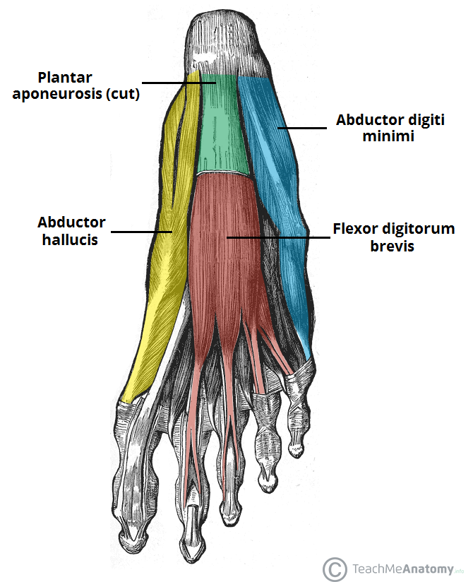 """The intrinsic muscles are like the """"core"""" muscles of the foot ..."""