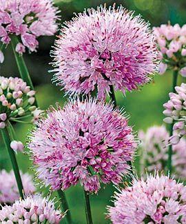 Https Www Dutchgardens Com Files Products 4504 L Jpg Allium Flowers Shade Plants Planting Flowers
