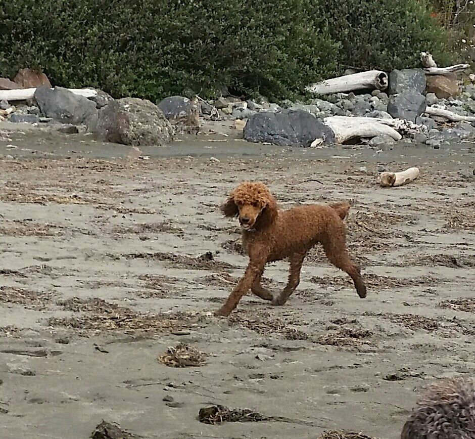 Jesse hitting his stride at the Oregon Coast AKC Red Standard Poodle