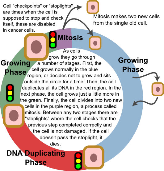 Cancer cell cycle | Cancer Risks | Pinterest | Cycling
