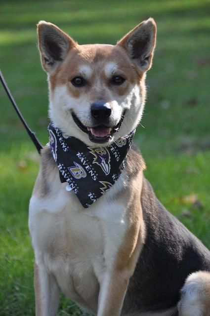 Adopt Hobart On Terrier Mix Dogs German Shepherd Dogs Dogs