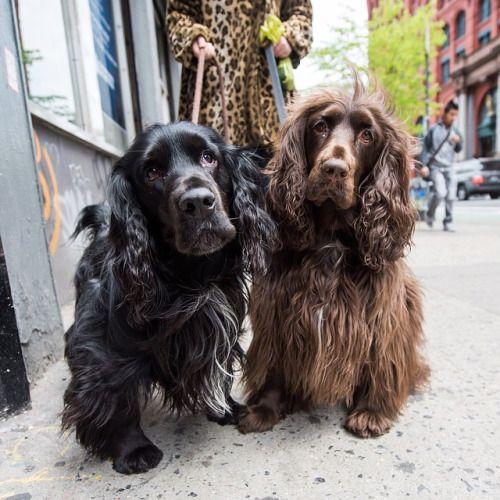 Frankie Edith Field Spaniels 4 2 Y O Lafayette Jersey St New York Ny Field Spaniel Spaniel Dogs