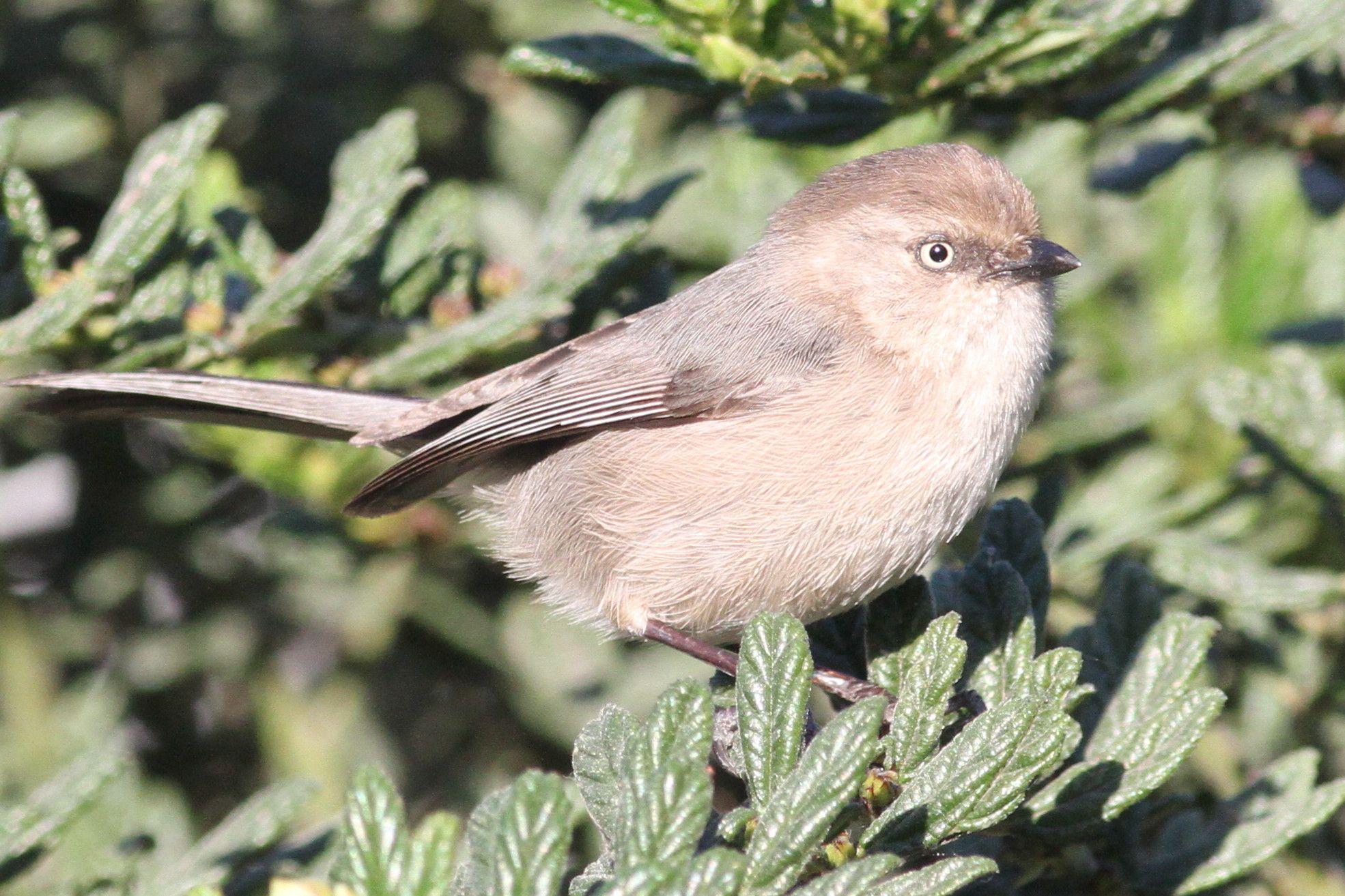 Bushtit - Backyard | Birds of Southern California | Pinterest