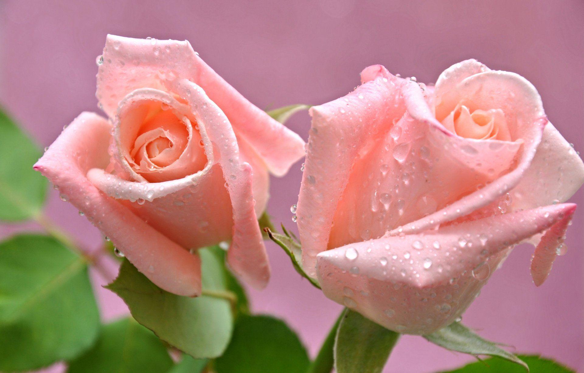 розы бутон лепестки капли роса вода макро HD обои для ...