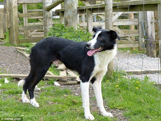 Cap The Border Collie Is Uk S Most Expensive Sheep Dog Dogs Border Collie Collie