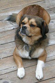 Beagle Tibetan Spaniel Dog Tibetan Spaniel Dogs Dogs Online