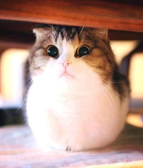 Very fatty chubby kitties