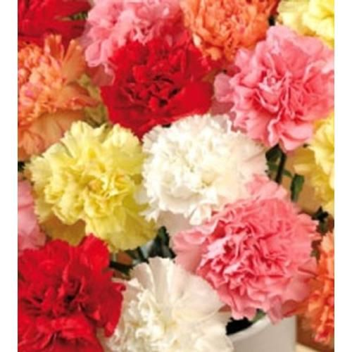 Wholesale Assorted Fancy Carnations Blooms By The Box Flowers January Flower Carnations