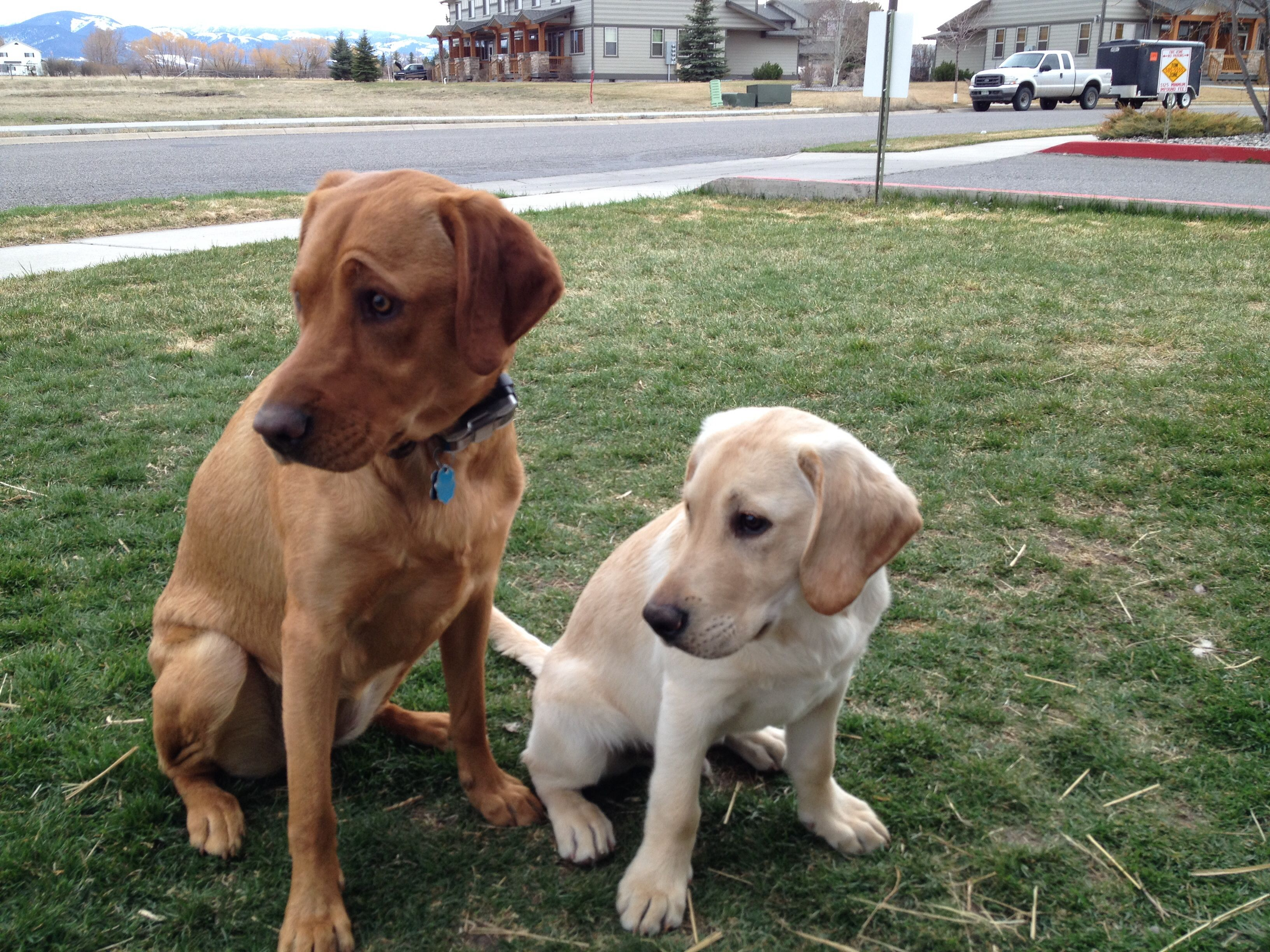 Dyna Fox Red Labrador And Rossi Yellow Labrador Fox Red