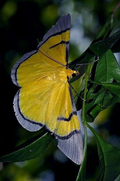 Celerena Signata Geometridae Family Moth From Thailand