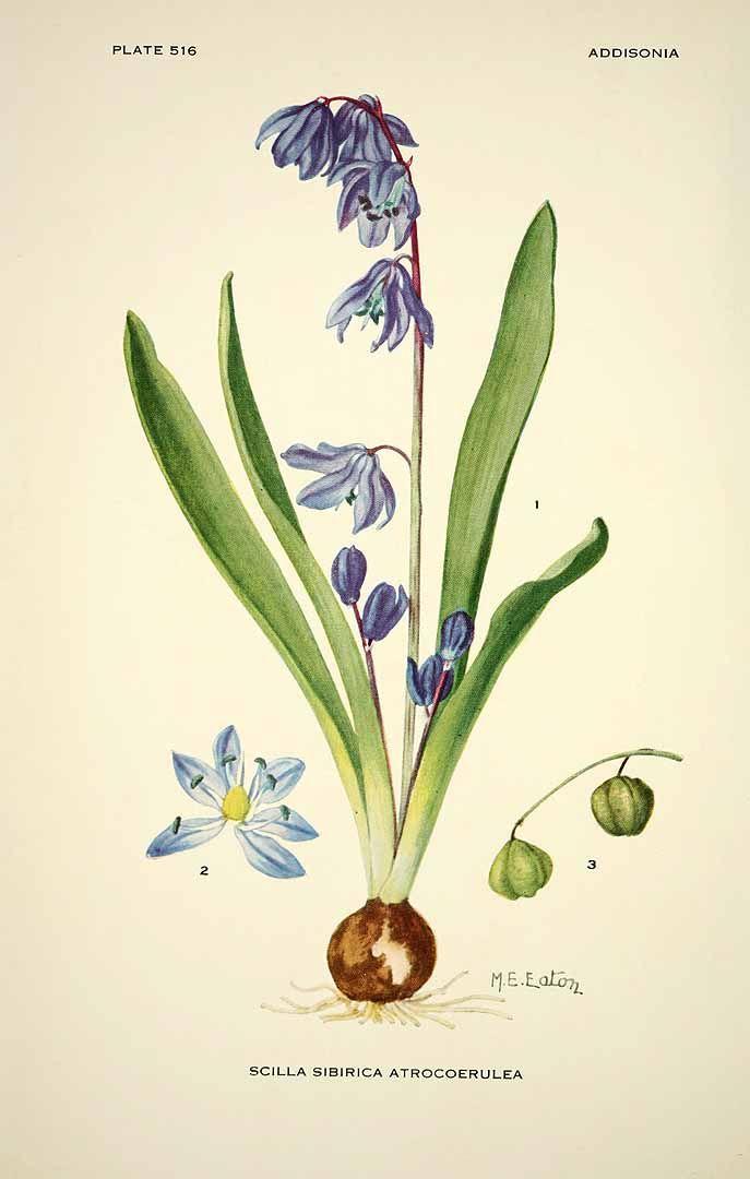 162851 Scilla siberica Haw. var. atrocoerulea / Addisonia, vol. 16: t. 516 (1931) [M.E. Eaton]