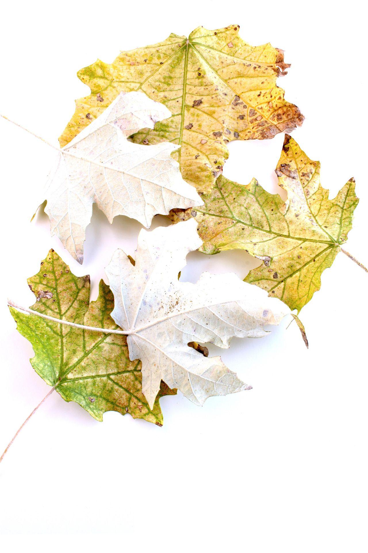 Hojas de álamo blanco con colores mas propios del inicio del otoño ...