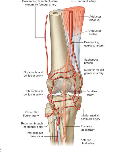 anatomy of the knee bones muscles arteries veins nerves