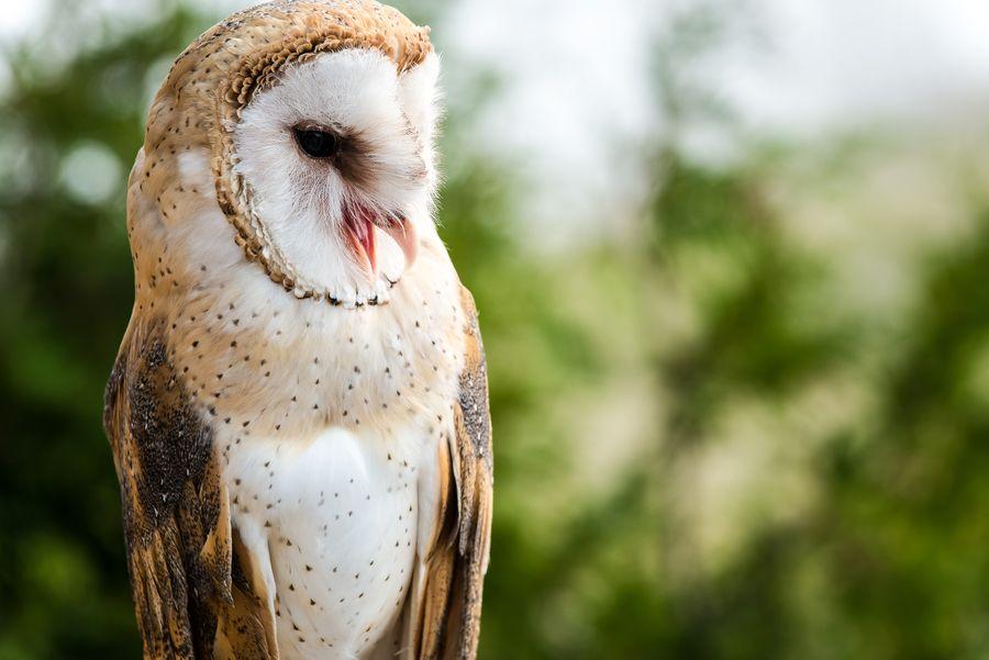 Tyto, the barn owl by Oleg Gutsol on 500px | Seres vivos ...