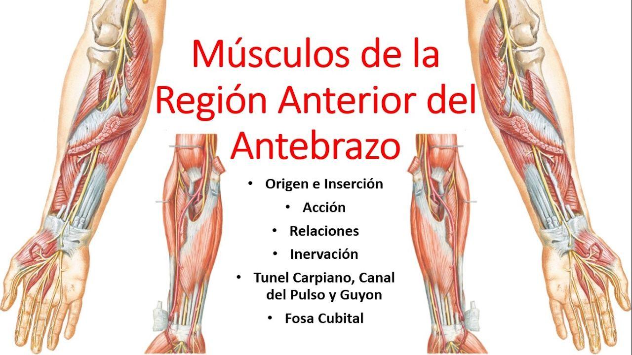 Anatomía - Músculos de la Región Anterior del Antebrazo (Origen ...