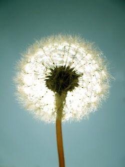 Tinywhitedaisies Dandelion Flowers Beautiful Photography