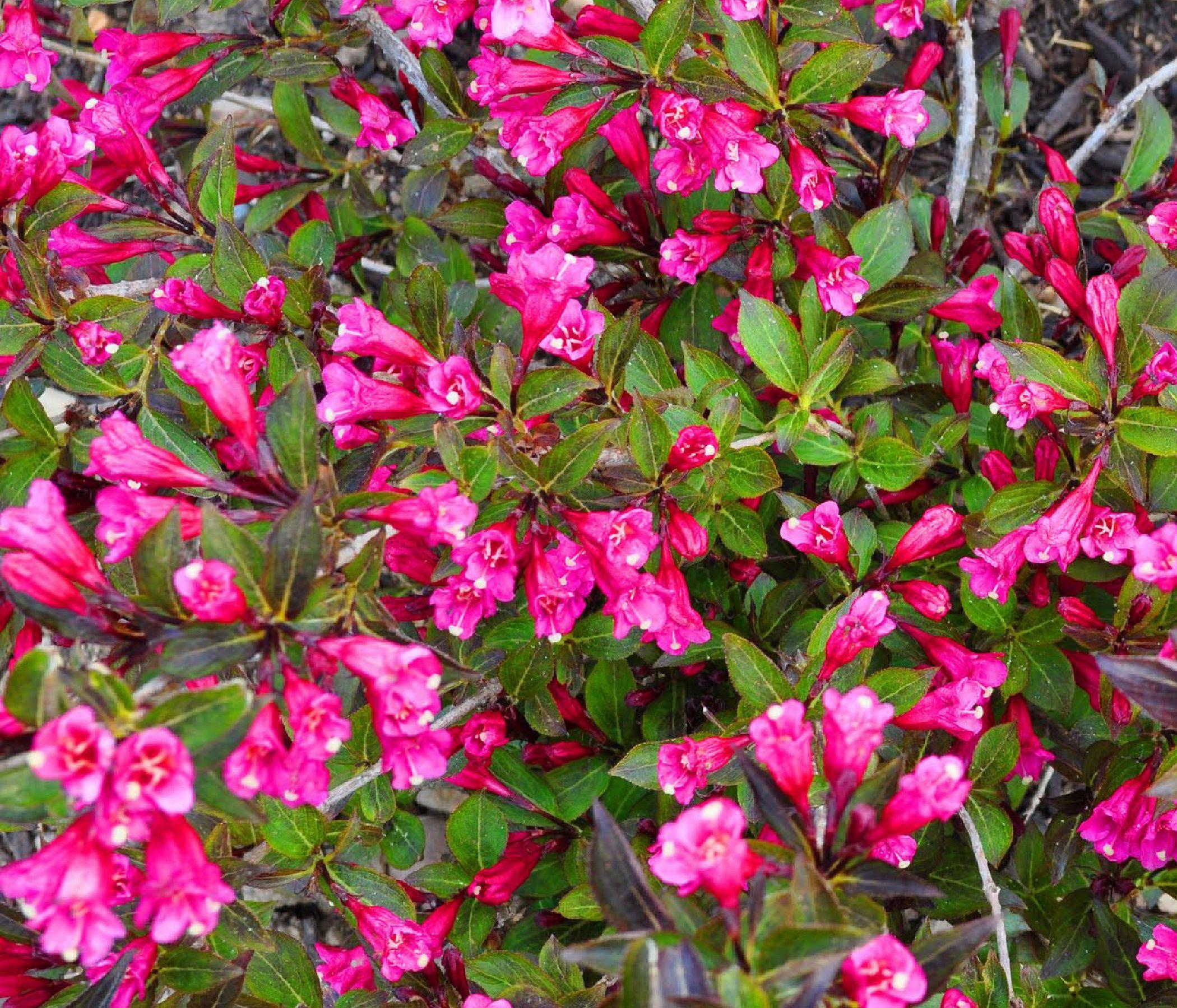 Long flowering bushes flowering shrubs6 garden pinterest long flowering bushes flowering shrubs6 izmirmasajfo