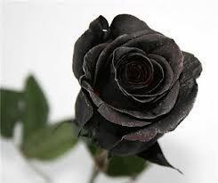 Чёрная роза купить саженцы