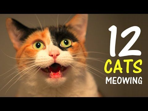 12 CATS MEOWING LOUDLY Make your Cat Go Crazy! 2.0 HD
