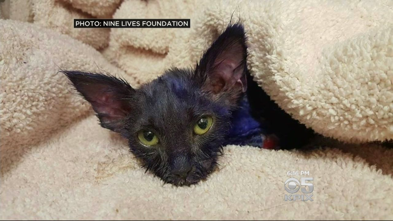 A kitten that officials in the South Bay think was used as