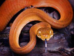 snake-lovers: hortulanus Coral - Amazon Tree Boa door thegardensofeden op Flickr.