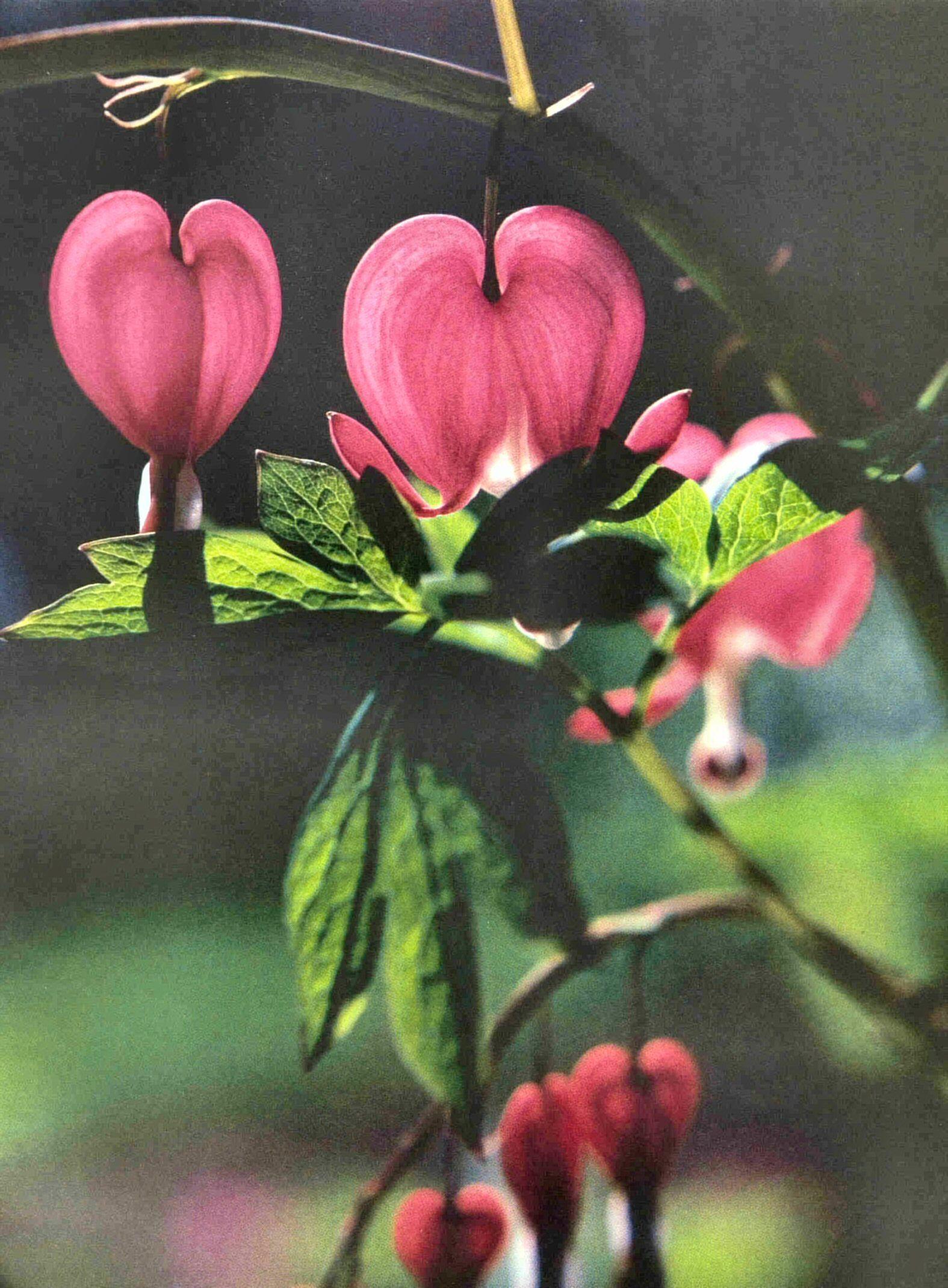 Bleeding Hearts Bleeding heart flower, My secret garden