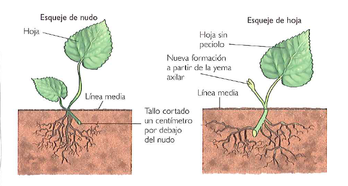 Propagacion asexual por hojas