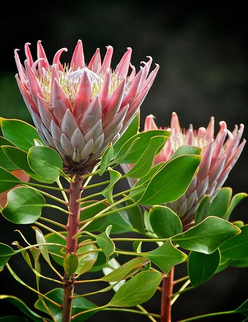 Hawaii flower-Proteaceae are a family of about 1775 species aligned in 75 genera, the majority of which occur in tropical and subtropical habitats in the Southern Hemisphere, with centers of variation in Australia and South Africa. The southwestern Cape region of South Africa alone boasts 69 endemic species of Protea. Species of Protea are cultivated in the Hawaiian Islands, primarily on the south western slopes of Haleakalä, but are not considered to have become naturalized,
