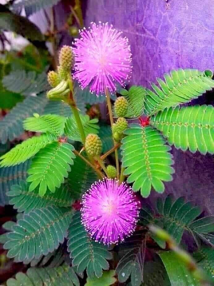 Mimosa Pudica Is A Well Known Shrub In India Unusual Flowers Strange Flowers Beautiful Pink Flowers