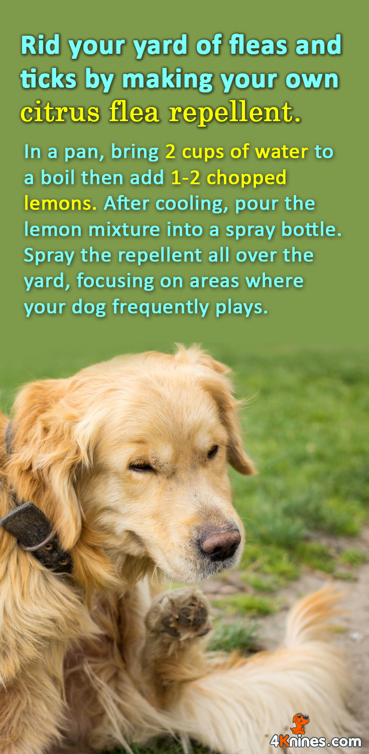here u0027s how you can make your own citrus flea repellent in a pan